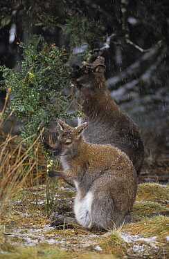 Bennett's / Red-necked Wallaby {Macropus rufogriseus} joey browsing with Mother, in snowy conditions, Australia