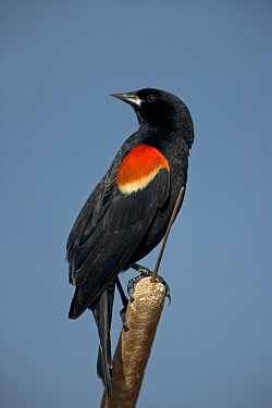Red-winged Blackbird {Agelaius phoeniceus} male, NY, USA