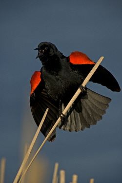 Red-winged Blackbird {Agelaius phoeniceus} male courtship display, NY, USA