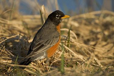 American Robin {Turdus migratorius} New York, USA