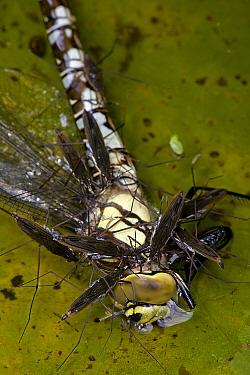 Pond skaters {Gerris lacustris} feeding on Southern hawker dragonfly {Aeshna cyanea} England