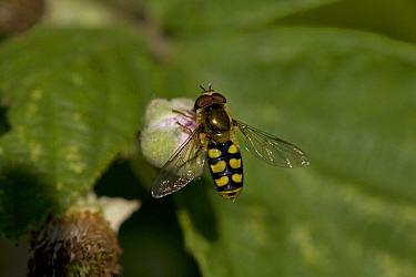 Hover fly (Syrphus sp) feeding on nectar from Bramble flower bud, UK