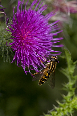 Hover fly (Helophilus sp) feeding on nectar from thistle flower, UK