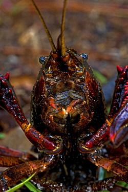 Louisiana crayfish / crawfish (Procambarus clarkii) mouthparts, Louisiana, USA
