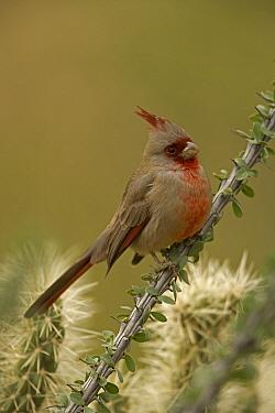 Pyrrhuloxia (Cardinalis sinuatus) male on Ocotillo cactus, Arizona, USA