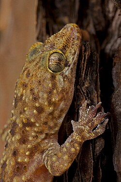 Mediterranean / Turkish Gecko (Hemidactylus turcicus) Louisiana, USA. Introduced to SE USA