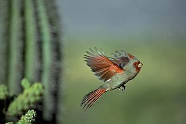Pyrrhuloxia (Cardinalis sinuatus) Male flying, Arizona, USA