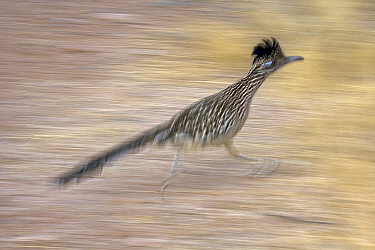 Greater Roadrunner (Geococcyx californianus) running, Arizona, USA