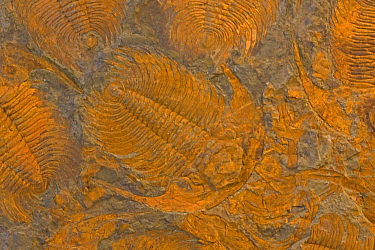 Trilobite fossils (Acadoparadoxides) from the Cambrian Period (520 million years ago), Djebel Ougnat, Morocco