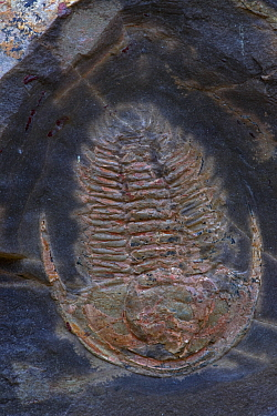 Fossil Trilobite (Redlichia takooensis), Lower (Early) Cambrian Period, Emu Bay Shale formation, Kangaroo Island, South Australia