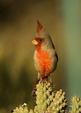 Male Pyrrhuloxia (Cardinalis sinuatus) perched on Cholla cactus (Cylindropuntia sp.) branch, Arizona, USA