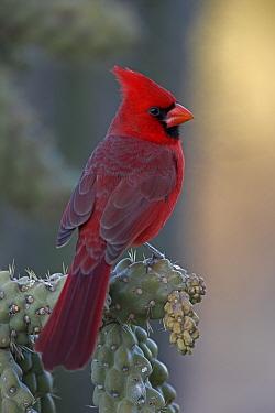 Male Northern Cardinal (Cardinalis cardinalis) Perched on ocotillo, Arizona, USA