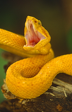 Eyelash viper in threat display (Bothriechis schlegli) Costa Rica, captive