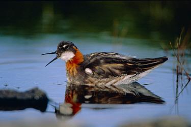 Northern phalarope calling (Phalaropus lobatus) Shetland Isles.