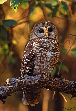 Mexican Spotted Owl in Arizona, USA. Endangered species