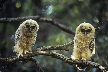 Mexican Spotted Owl (Strix occidentalis lucida) two fledglings perched, USA