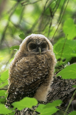 Mexican Spotted Owl {Strix occidentalis lucida} fledgling, USA.