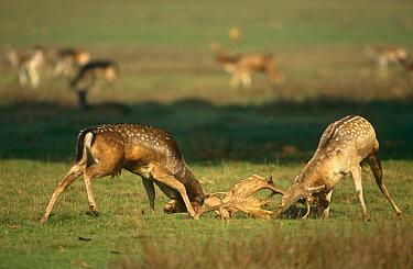 Fallow deer males in rut fighting on lek (Dama dama) UK