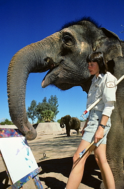 Indian elephant {Elaphus maximus} painting picture with trunk in zoo, with keeper, USA