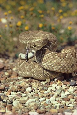Mojave rattlesnake (Crotalus scutulatus). Arizona, USA