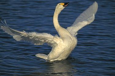 Bewick's Swan displaying. (Cygnus columbianus bewickii) England