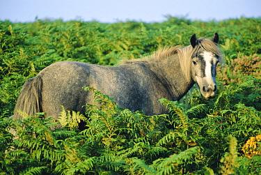 Dartmoor pony. Dartmoor NP (Equus caballus) England