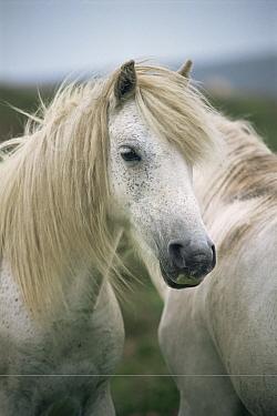 Dartmoor pony (Equus caballus) Dartmoor NP, UK