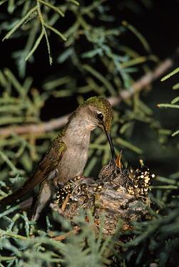Anna's hummingbird (Calypte anna) feeding chicks at nest. Sonoroan desert, Arizona, USA