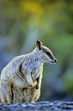 Unadorned rock wallaby (Petrogale inornata) Australia