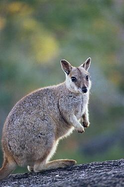 Unadorned rock wallaby. (Petrogale inornata) Australia