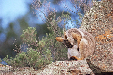 Yellow footed rockwallaby cleans pouch. (Petrogale xanthopus) AUS Australia