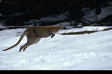 Red necked wallaby {Macropus rufogriseus} hopping through snow, Tasmania, Australia.