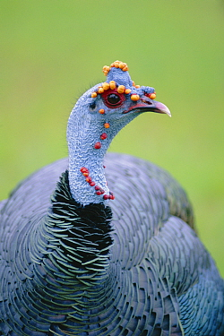 Ocellated turkey male portrait (Meleagris ocellata) Guatemala