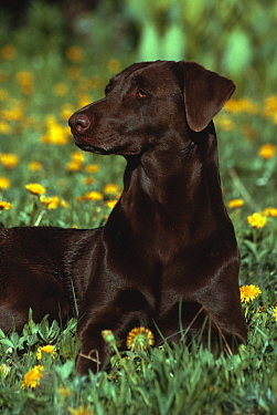 Domestic dog - chocolate labrador retriever, USA.