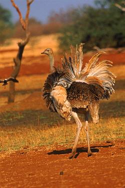Ostrich (Struthio camelus) displaying. Zimbabwe, Southern Africa