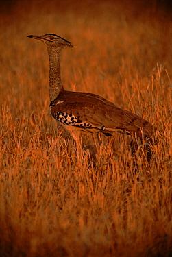 Kori bustard (Choriotis kori). Zimbabwe, Southern Africa