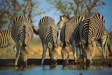 Common zebra (Equus quagga) drinking. Zimbabwe, Southern Africa
