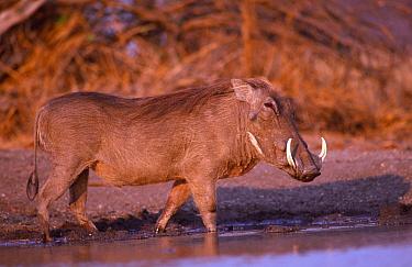 Warthog at water {Phacochoerus aethiopicus} Zimbabwe, Southern Africa