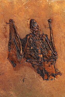 Bat fossil {Palaeochiropteryx tupaiodon} Eocene period. Messel, Germany