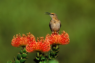 Cape sugerbird {Promerops cafer} on Pincushion {Laucospermum spp}, South Africa