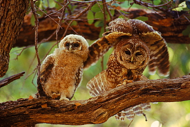 Mother and young spotted owl, Mexican subspeices {Strix occidentalis lucida}, Mexico