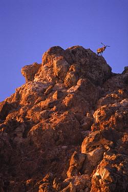 Feral goat {Capra hircus}, an introduced pest, Redonda Island Antigua, West Indies (Domestic goat gone wild)