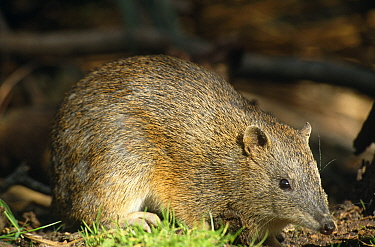 Southern brown bandicoot {Isoodon obesulus} Australia.