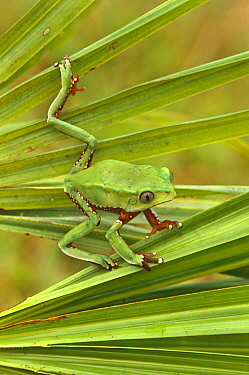 Leaf frog on reed {Phyllomedusa bicolor}, toxic skin secretion, Peru, South America