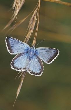 Chalkhill blue butterfly {Polyommatus coridon} UK