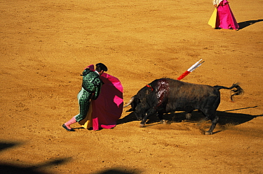 Matador and wounded bull in Bull fight, Spain