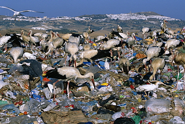 White storks feeding at refuse dump {Ciconia ciconia} Spain