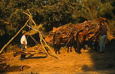 Harvesting cork from Cork oak trees {Quercus suber} loaded onto donkeys, Spain