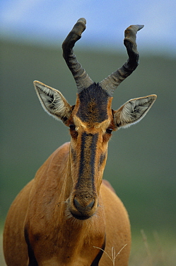 Red hartebeest head portrait {Alcelaphus caama} South Africa