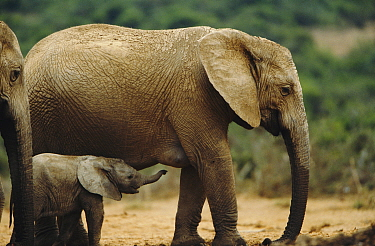 African elephant with calf {Loxodonta africana} South Africa